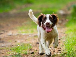 springer spaniel breed details