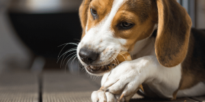 beagle puppy chewing on a treat