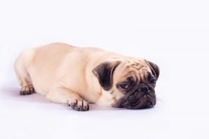 pug breed cover