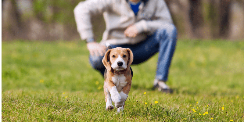 Beagle puppy exercising in park