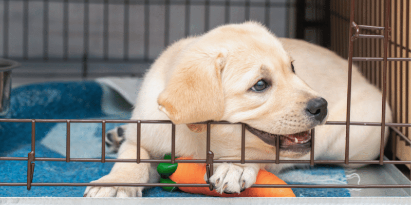 Six-Week-Old Labrador Puppy Bites an Iron Cage