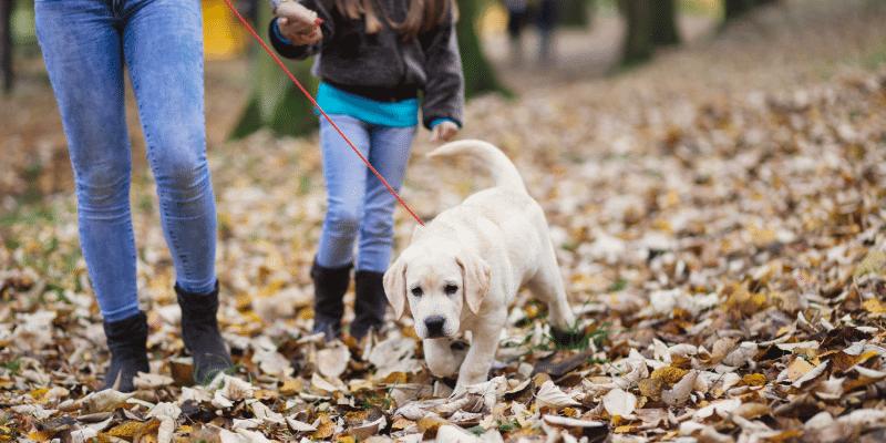 Walking Labrador puppy