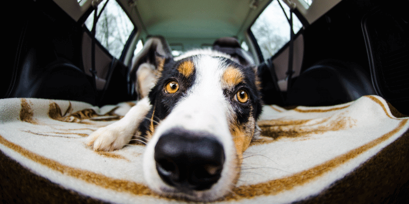 dog in car before zoomies