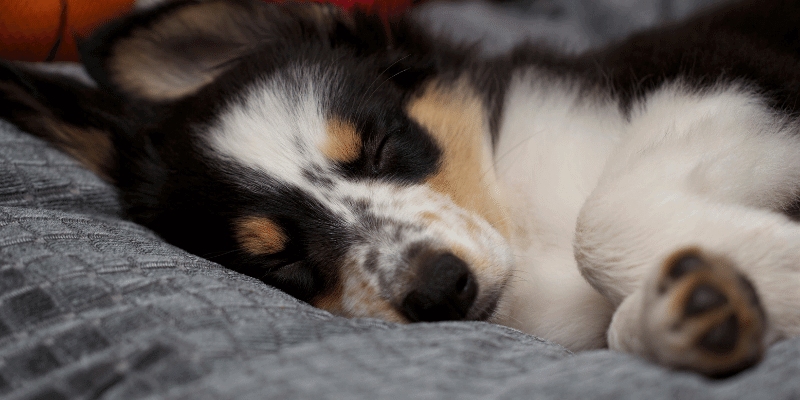 puppy asleep on bed